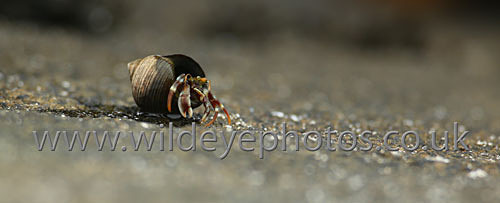 Hermit Crab - Panoramic & Slim Prints
