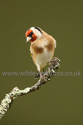 Gold Finch Perched - British Birds