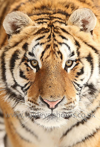 Siberian Tiger Eyes - Tigers