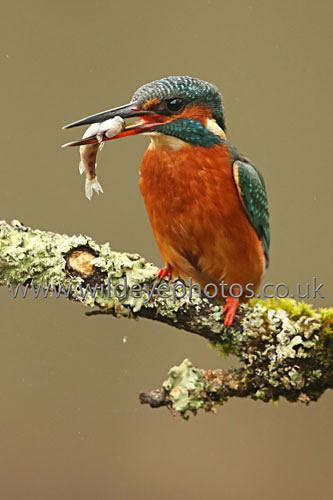 The Catch - British Birds