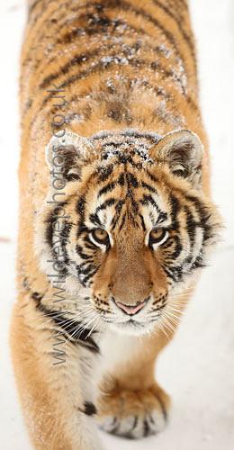 Young Tiger Stalking - Panoramic & Slim Prints