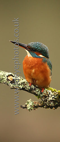 Resting Kingfisher - Panoramic & Slim Prints