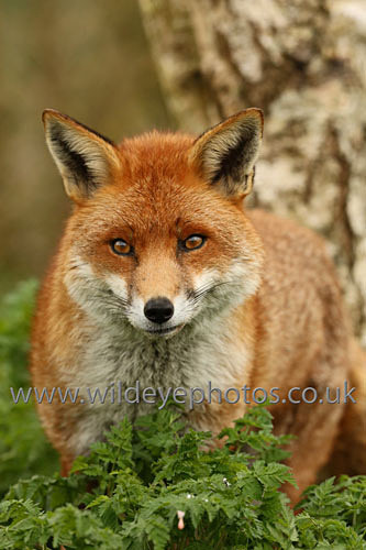 Waiting Fox - British Wildlife