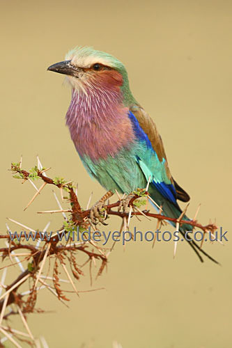 Lilac Breasted Roller - Birds