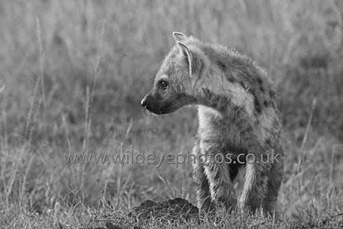 Young Hyena - Black & White