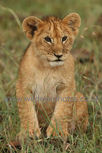 Lion Cub Watching - Lions