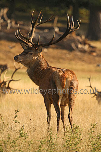 Red Deer Morning - British Wildlife