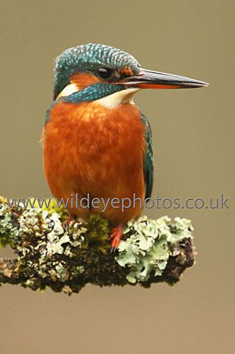 Kingfisher Waiting - British Birds