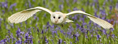 Gliding Barn Owl - Panoramic & Slim Prints
