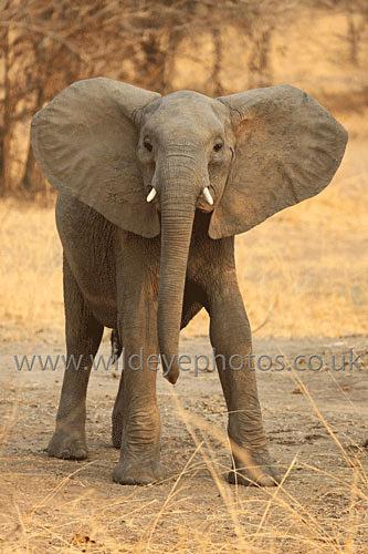 Ears Out - Elephants