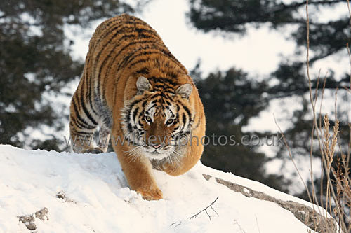 Prowling On The Ridge - Tigers