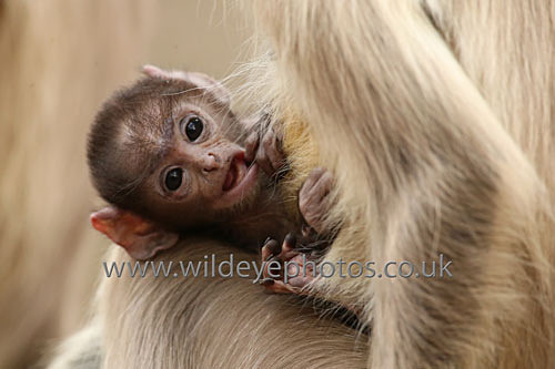 Baby Langur - Primates