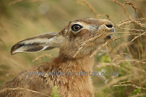 Eating Hare - British Wildlife