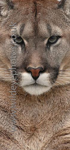 Puma Stare - Panoramic & Slim Prints