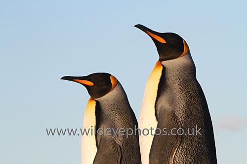 Evenening Kings - Penguins