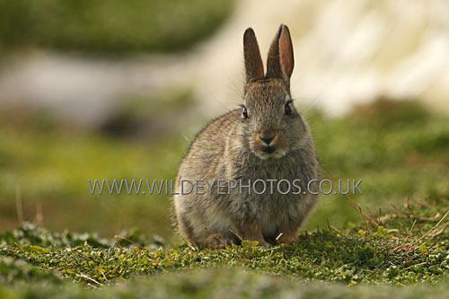 Baby Rabbit - British Wildlife
