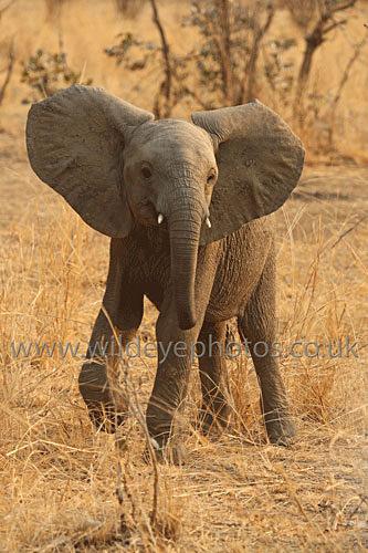Young Elephant Display - Elephants