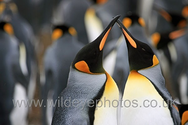 King Penguin Colony - Penguins