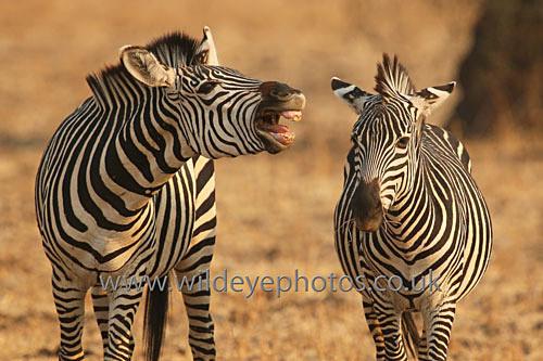 Shouting Zebra - African Wildlife