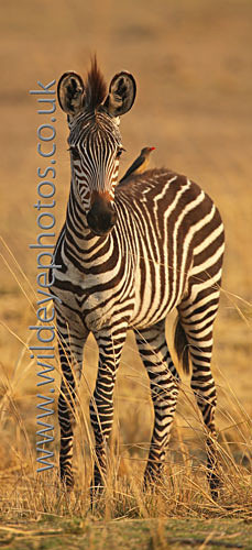 Zebra Baby - Panoramic & Slim Prints