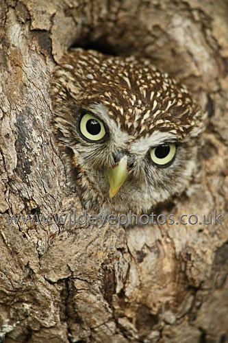 Peeping Little Owl - Owls