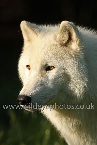 Arctic Face - Wolves