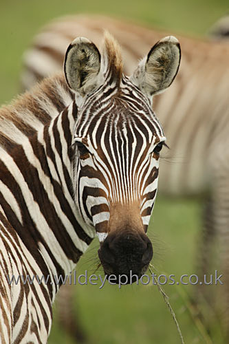 Curious Zebra - African Wildlife