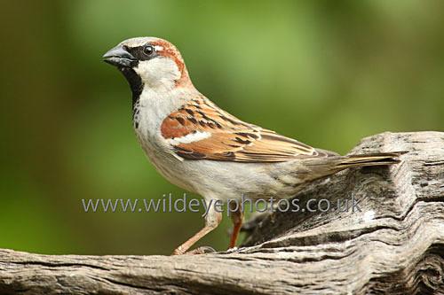 Feeding Sparrow - British Birds