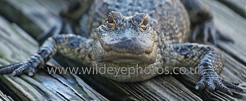 Basking Gator - Panoramic & Slim Prints