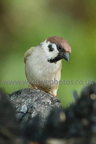 Curious Sparrow - British Birds