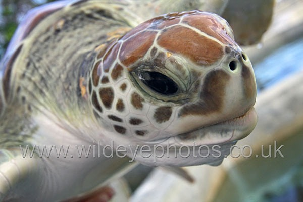 Sea Turtle - Reptiles, Amphibians & Insects