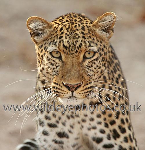 Leopard Stare - Squares