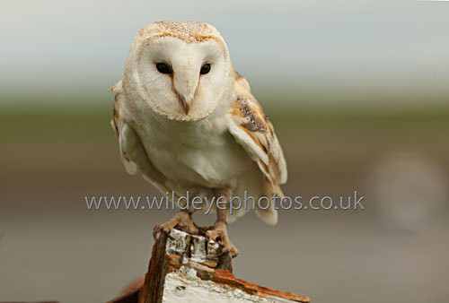 Barn Owl On The Prow - Owls