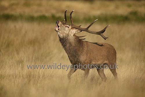 The Rut - British Wildlife
