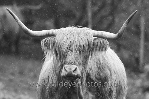 Highland In The Rain - Black & White