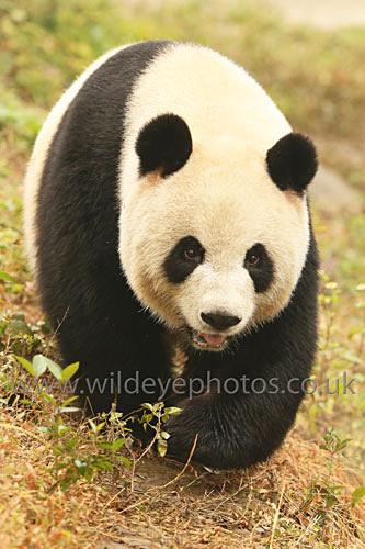 Panda Stroll - Pandas
