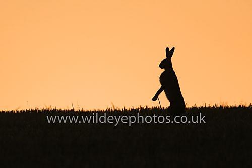 Sunset Hare - British Wildlife