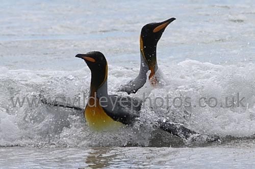 Landing Kings - Penguins