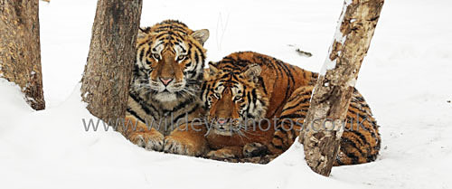 Tiger Cuddle - Panoramic & Slim Prints