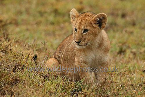 Cub Resting - Lions