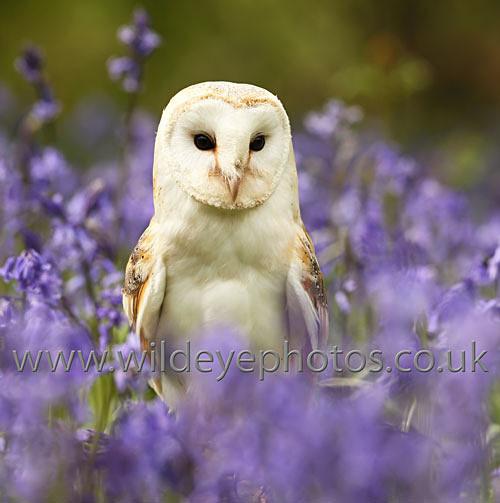 Barn Owl Square - Squares