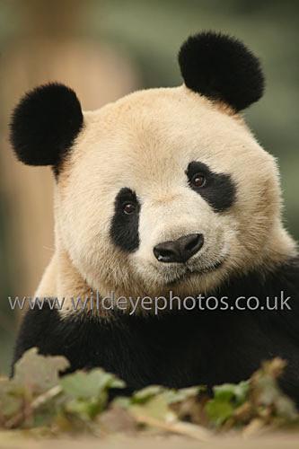Curious Panda - Pandas