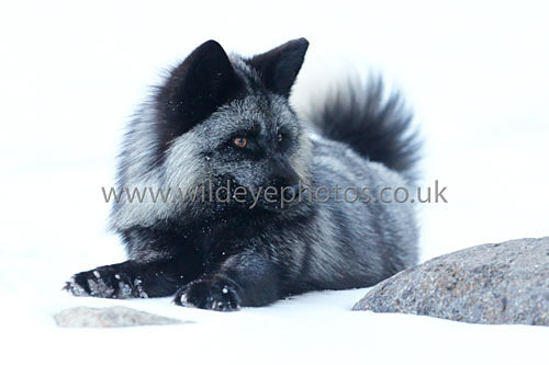Black Fox Resting - Wildlife
