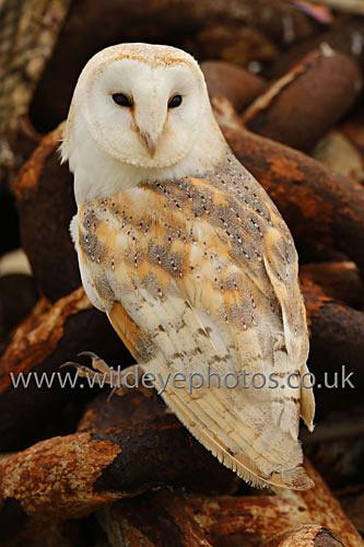 Barn Owl On A Chain - Owls