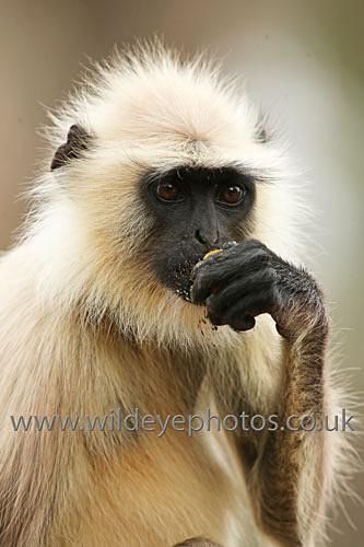 Feeding Langur - Primates