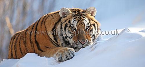 Tiger Down Time - Panoramic & Slim Prints