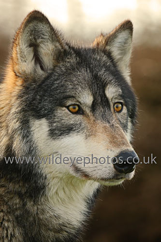 Nuka Profile - Wolves