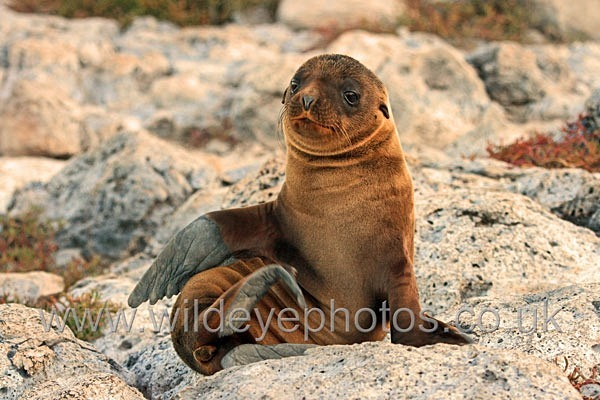 Sea Lion Pup - Wildlife