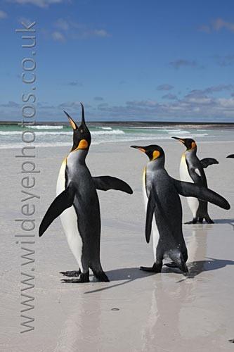 Singing Kings - Penguins