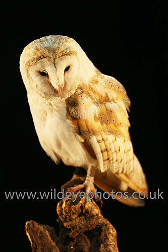 Barn Owl in the Datk - Owls
